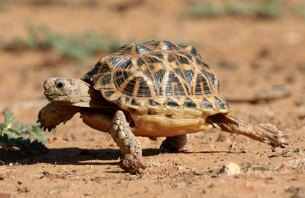 Image result for tortoise running