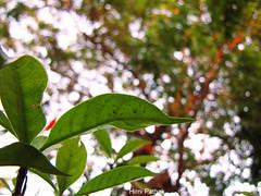I love Bokeh (HydrogenPops) Tags: winter light india tree nature leaves photography bokeh jharkhand ranchi ilovebokeh hirnipathak hydrogenpops
