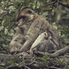 hush a bye baby (Black Cat Photos) Tags: uk england baby tree cute nature animal forest canon blackcat fur photography monkey photo europe sleep wildlife social m parent tribe primate guardian macaque macaques barbarymacaques revered blackcatphotos