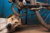 Sleeping dog - Varanasi, India (Maciej Dakowicz) Tags: street city sleeping dog india animal bike bicycle asia nap sleep pillow varanasi asleep kashi pedal sleeper benares uttarpradesh