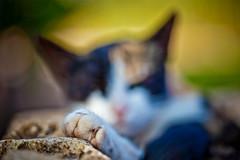 Garra (Juan Antonio Cap) Tags: animal cat kat feline chat gato felino katze mace  gatto  kot gat koka kedi kissa kttur maka kucing pusa mo moix    minino    pisic   colorphotoaward