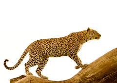 Leopard (zain-photography) Tags: canon tanzania nationalpark all wildlife leopard bigcat 7d serengeti bigcats natures bigfive big5 eosdigital level2 naturesfinest leopardtree specanimal leopardintree coth5 onlythebestofnature 70200mmisii allnaturesparadise amazingwildlifephotography allofnatureswildlifelevel1 allofnatureswildlifelevel2 allofnatureswildlifelevel3 allofnatureswildlifelevel4 leopardclimbing allofnatureswildlifelevel5 allofnatureswildlifelevel8 allofnatureswildlifelevel6 allofnatureswildlifelevel7