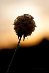 Sutil belleza (Jose Casielles) Tags: color luz contraluz flor bonita bola belleza yecla fotografíasjcasielles