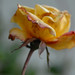 dying yellow rose