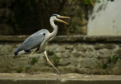 Catwalking Heron_(Explored Highest Postion #2) (xris74) Tags: nature closeup canon europe bokeh wildlife natur explore luxembourg letzebuerg luxembourgcity explored 5d2 xris74