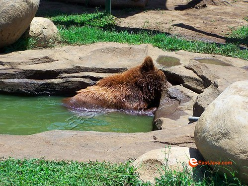 Lazy Bear On The Pool