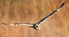 Short Ears (Dan Belton ( No Badger Cull )) Tags: uk autumn bird nature birds animal flying december leicestershire wildlife hunting flight short owl eared 2011 asioflammeus