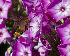 Hummingbird Moth (phoGARDENtog) Tags: flowers macro 50mm colorado fortcollins insects moths e30 csu