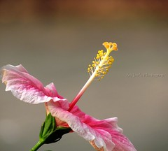 Standing tall against all odds... (Joe Vimal Raj) Tags: pink india white flower macro green leaves canon exposure dof bokeh center joe powershot pistil hibiscus tip bud chennai raj shoeflower vimal jvr xs30is joevimalraj