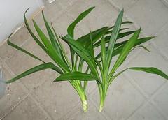 Yucca Plant Indoor Plant Pflanze Indoor Yucca