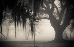 IMG_9011 (New Orleans Lady) Tags: copyright tree fog oak all © images jordan h rights oaks copy reserved vg allrightsreserved alysha c© inthefog coastallouisiana 20032013 allimages©20032013alyshahjordan