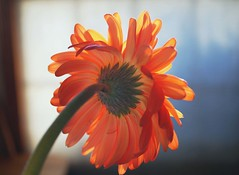 Gerbera daisy - backlit. (txdragonfly11) Tags: orange flower macro sony gerbera daisy backlit odc a55
