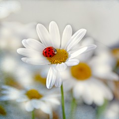 The JOY OF LIFE ... (Weirena) Tags: life flowers light white macro love daisies square austria nikon joy ps ladybugs healing textured weirena magicunicornverybest