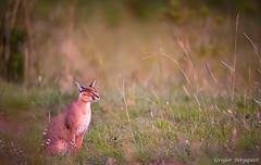 _DSC8250.jpg (Gregor Bergquist) Tags: kenya wildlife caracal masaimara karakal sopaarea