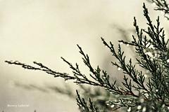 winter rain (life stories photography) Tags: winter green nature rain bokeh january raindrops cypress day11 bushes 2012 3651