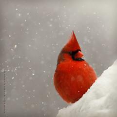 Red on White (CiJay Pikula Imaging) Tags: winter snow bird nature cardinal wildlife ngc npc legacy avian tistheseason specanimal fantasticnature tisexcellence coppercloudsilvernsun blinkagain allnaturesparadise bestofblinkwinners blinkagainsuperstars blinksuperstars