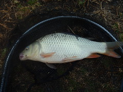 Small Carp from Cherry lake (spyderchef) Tags: altona cherrylake