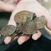 Handful of Baby Three-toed Box Turtles