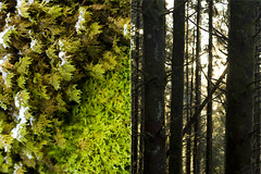 IV (hannedale) Tags: trees light tree norway rural forest moss diptych dale tre treetrunks noreg sunnfjord fjaler torset
