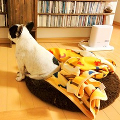 定位置にて。「泣かせて」by 研ナオコ #frenchbulldog #buhi #dog #petstagram #dogstagram #犬バカ部