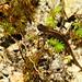 Ozark Zigzag Salamander