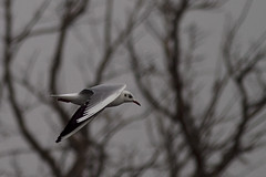 Brown Headed Gull (Shudipto) Tags: bird gull bangladesh brownheadedgull sunamganj shudipto tanguarhaor