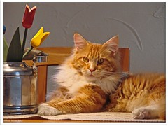 Endlich Frhling? - Finally springtime? (Jorbasa Mwa) Tags: red orange pet rot animal cat germany deutschland ginger spring hessen oscarwilde mainecoon katze kater tier tomcat frhling wetterau jorbasa redtabbywhite