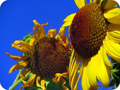 Bendita juventud divino tesoro. (Terre!) Tags: blue sky naturaleza flower color nature beauty yellow azul de amor flor amarillo sunflower girasole belleza tournesol girasol  juventud