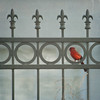 Male Cardinal on a Fence (Judy Rushing) Tags: red texture nature fence cardinal nhm malecardinal ngm visionqualitygroup visionquality100 npgm florabellatestures florabellatextureparliament