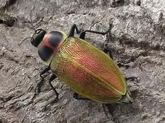 """escarabajo """"cucaracha"""" / """"cockroach"""" beetle (jjrestrepoa (busy)) Tags: insect colombia cordoba escarabajo insecto coleoptera ceiba buprestidae ayapel cucarron escarabajocucaracha cockroachbeetle"""
