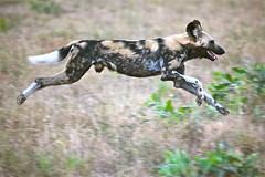 Painted Wolf in the Hunt (jurvetson) Tags: africa wild dog wolf dusk painted south