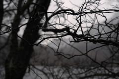 Vibrazioni (Wrinzo) Tags: uk trees tree alberi scotland europa europe branches drop albero rami lochmaree goccia scozia