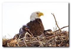 Proud Mom (Nature Photos by Scott) Tags: wild bird nature birds eagle florida wildlife birding baldeagle kissimmee birdsofprey americanbaldeagle scotthelfrichphotographycom