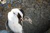 Preening (Lauren Barkume) Tags: africa vacation rock southafrica penguin groom december ct capetown jackass preen westerncape 2011 laurenbarkume gettyimagesmeandafrica1