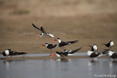 The Globally Threatened Indian Skimmer. Chambal, Uttar Pradesh, India (27 Jan 2012) (Vinchel) Tags: india canon is ii usm ef pradesh skimmer uttar 400mm f28l chambal 5dm2