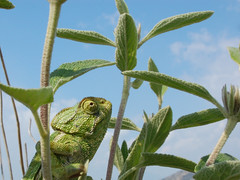 Mediterranean Chameleon (Chamaeleo chameleon) (Sky and Yak) Tags: nature spain mediterranean reptile wildlife andalucia lizard andalusia chameleon espagne naturalworld herp herps herpetology chamaeleo reptilesandamphibians