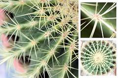 32-366 (Amalid) Tags: cactus macro closeup canon project eos libya tripoli 2012   canoneos450d  366project canoneosdigitalrebelxsi efs1855mmisf3556 365daytodayproject