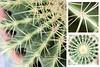 32-366 (Amalid) Tags: cactus macro closeup canon project eos libya tripoli 2012 طرابلس ليبيا canoneos450d صبار 366project canoneosdigitalrebelxsi efs1855mmisf3556 365daytodayproject