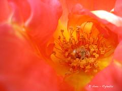 rosa: androceo e gineceo (annarigheblu) Tags: rosa natura fiore androceo righeblu annarigheblu ideeweekend arigheblu