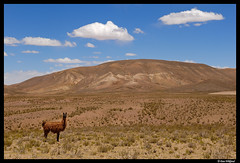Welcome to Altiplano (Dan Wiklund) Tags: summer orange sun mountains southamerica nature animal yellow clouds landscape llama dry bolivia andes lama d200 altiplano 2012 highaltitude southwestcircuit southwestcurcuit lphills