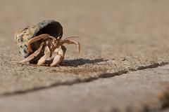 Mr. Krabbs Enjoying Some Fresh Air Today (btn1131 theromanroad.org) Tags: nature animals crab olympus crabs hermit epl1 mygearandme