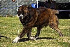 Central Asian Shepherd (Alexandra Kimbrough) Tags: show california dog asian miniature husky shepherd central mini kai nordic claremont northern klee alaskan ukc conformation akk ovtcharka