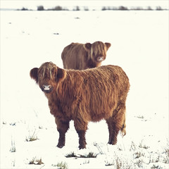 moo coos (Black Cat Photos) Tags: uk winter england snow cold nature animal canon blackcat photography cow photo europe reserve moo m shaggy coo fairburn fairburnings landmanagement blackcatphotos