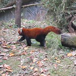 "Red Panda! <a style=""margin-left:10px; font-size:0.8em;"" href=""http://www.flickr.com/photos/14315427@N00/6829321615/"" target=""_blank"">@flickr</a>"