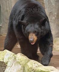 Black Bear (sandy richard) Tags: usa oregon portland zoo unitedstates portlandoregon oregonzoo sandyrichard sandrarichard