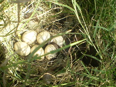Os pintinhos vem por aí... (AdalbertoTrajano) Tags: plantas animais mato ovos pintinhos