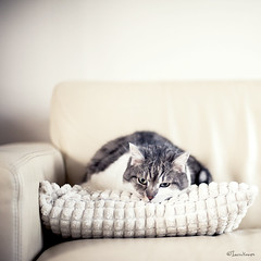 TGIF (moggierocket) Tags: white cat 50mm soft flat fluffy down couch potato tired depressed pancake tgif cushion stacked comfy settee legless thelittledoglaughed thecatwhoturnedonandoff