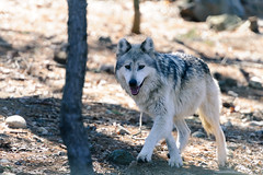 Gray Wolf Approaching (Eric Kilby) Tags: stone zoo wolf massachusetts gray mexican