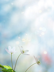 Spring Fairytale (mintukka) Tags: flowers light flower nature spring happiness bubbles springflowers whiteanemone