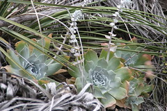 (joedecruyenaere) Tags: crassulaceae losangelescounty dudleya mishemokwa dudleyapulverulenta santamonicamountainsnationalrecreationarea